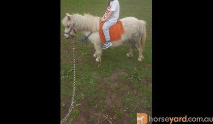 Quiet Shetland Pony on HorseYard.com.au
