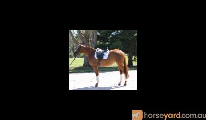 Northern Super Nova (School Master / Pleasure / ARC) on HorseYard.com.au