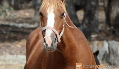 Talina Flirtation on HorseYard.com.au