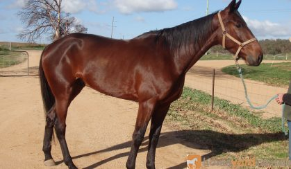 Mighty Jack - recently retired Standardbred on HorseYard.com.au