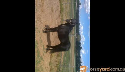 REG australian pony gelding on HorseYard.com.au