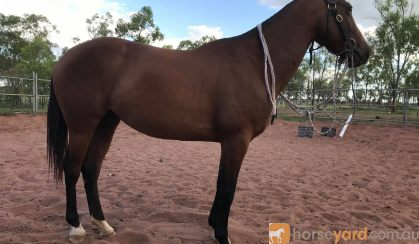For Sale: WILLOW on HorseYard.com.au