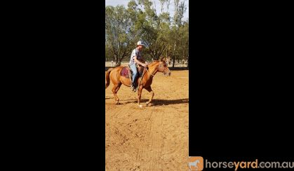 Chestnut QH mare on HorseYard.com.au