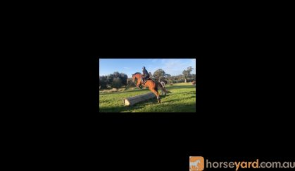 Potential Eventer 5YO TB on HorseYard.com.au