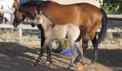 2015 Recycled Genetics filly on HorseYard.com.au