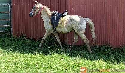 Palomino Appaloosa gelding on HorseYard.com.au