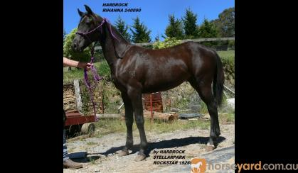 High Show Quality Yearling Filly Hardrock Rihanna, ASH reg. no. 240090, DOB 11/10/2015, should mature 14.3hh as pretty as a picture on HorseYard.com.au