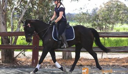 Radar WB X,, done L3 hracv, loves to jump, gorgeous looking boy with a gorgeous smoochy personality! on HorseYard.com.au