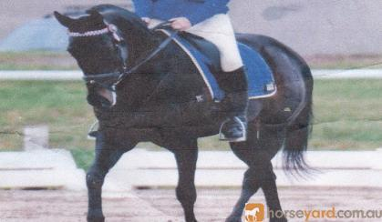 Gorgeous WB X Gelding been there done that!!  on HorseYard.com.au