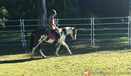 Clydie x pinto 5yrs 14.2h sweet and easy on HorseYard.com.au