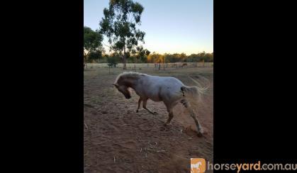 Little Horse 9.2 hh appaloosa on HorseYard.com.au
