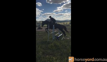 typey brown gelding on HorseYard.com.au
