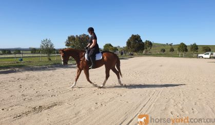 Striking Thoroughbred with huge show potential  on HorseYard.com.au