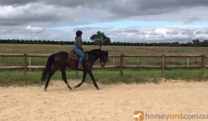 TB mare on HorseYard.com.au