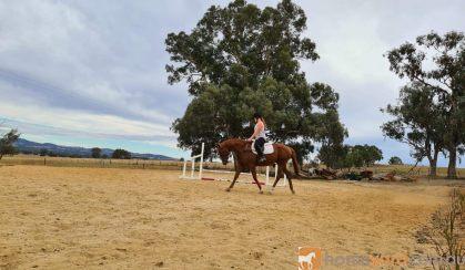 15.2 chestnut tb 9 year old on HorseYard.com.au
