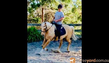 7yo Palomino Stock Horse  on HorseYard.com.au
