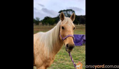 QH x Riding Pony Mare on HorseYard.com.au