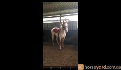 Palomino appaloosa on HorseYard.com.au