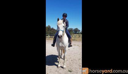 Solid 16hh 13 yo Andulsian on HorseYard.com.au