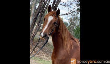 Project Arabian x gelding on HorseYard.com.au