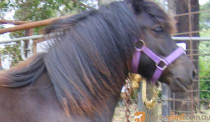 Heavy/traditional SHETLAND yearling filly on HorseYard.com.au