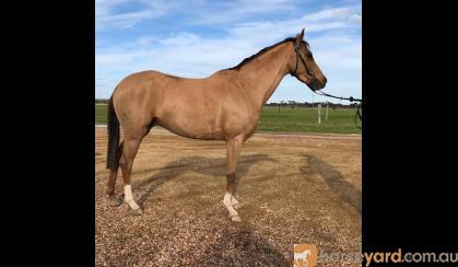 Quality Show Pony on HorseYard.com.au
