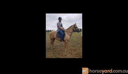 Qh palomino mare on HorseYard.com.au