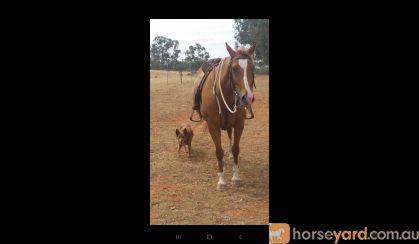 Smart athletic stock quarter mare  on HorseYard.com.au