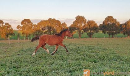 River - Stunning Clydie x Filly on HorseYard.com.au