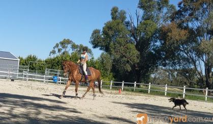 Advanced dressage schoolmaster  on HorseYard.com.au