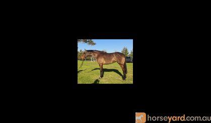 Redmoore High Definition  on HorseYard.com.au