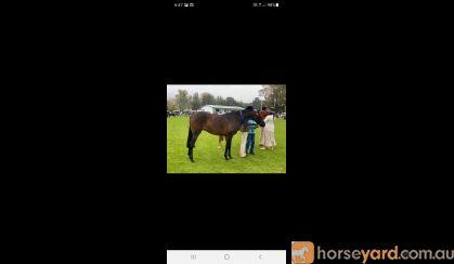 Quality Pony Mare on HorseYard.com.au