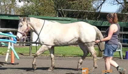 SOLD Sweet 15hh Appy Project - Video available on HorseYard.com.au