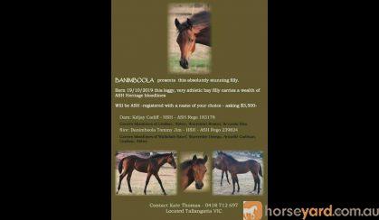 Banimboola this absolutely stunning filly on HorseYard.com.au