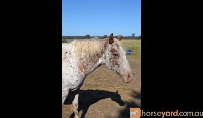 AAA broodmare in foal for 2017 foal on HorseYard.com.au