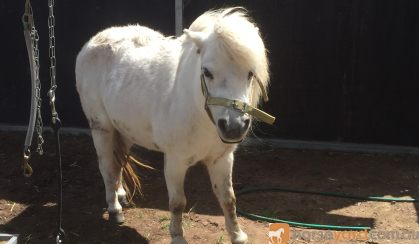 Free to good home - Shetland X on HorseYard.com.au