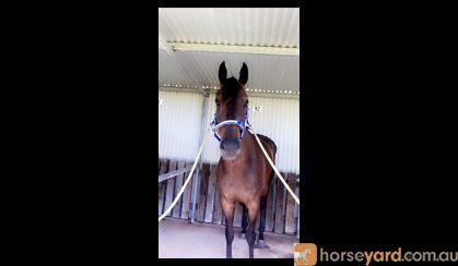 OTT horse for sale on HorseYard.com.au