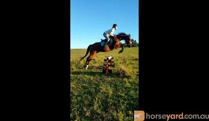 Thoroughbred gelding for sale on HorseYard.com.au