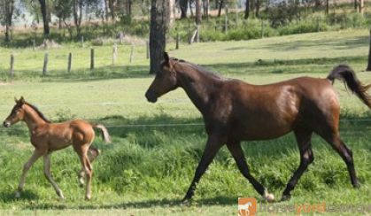 Arabian Warmblood Broodmare on HorseYard.com.au