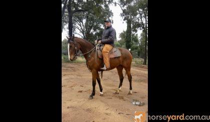 Beautiful 4yo ASHx on HorseYard.com.au