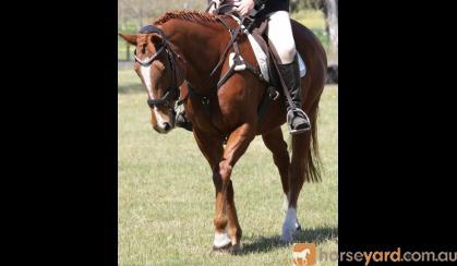 16yo Gelding ideal 2nd horse for pony club on HorseYard.com.au