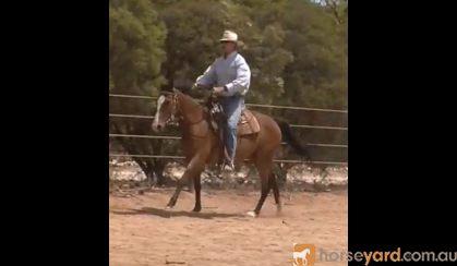 Beautiful 4yo ASHx 15.2hh gelding on HorseYard.com.au