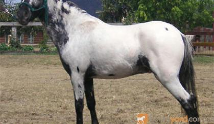 mini pony LEOPARD colt...STUNNING..welsh breeding on HorseYard.com.au