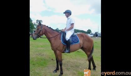 Sapphire - Lovely 4yo Percheron/TB mare on HorseYard.com.au