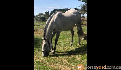 Percheron x warmblood mare on HorseYard.com.au