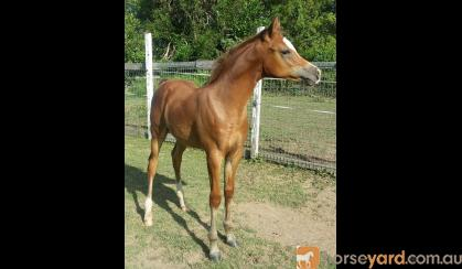 Outstanding Partbred colt/gelding on HorseYard.com.au