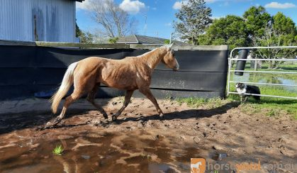 Quiet 3yr QH Filly on HorseYard.com.au