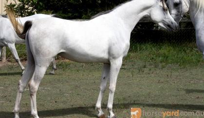 Straight Egyptian Broodmare on HorseYard.com.au