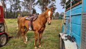 Registered paint mare on HorseYard.com.au