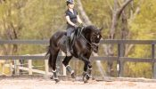 Gentle, responsive registered Percheron Warmblood Gelding  on HorseYard.com.au